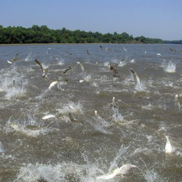 Asian Carp Barriers to be Erected on Tennessee, Cumberland Rivers