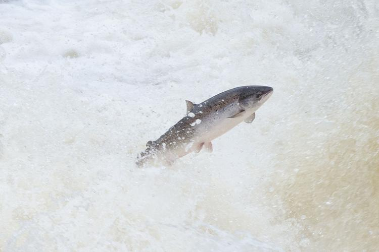 $1 Million Available for Atlantic Salmon Habitat Restoration