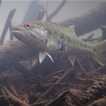 Keep Native Fish Healthy–Avoid Unsanctioned Releases