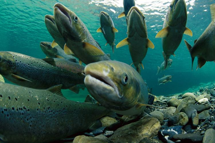 Bycatch Reduction Improves Pacific Salmon Fishery