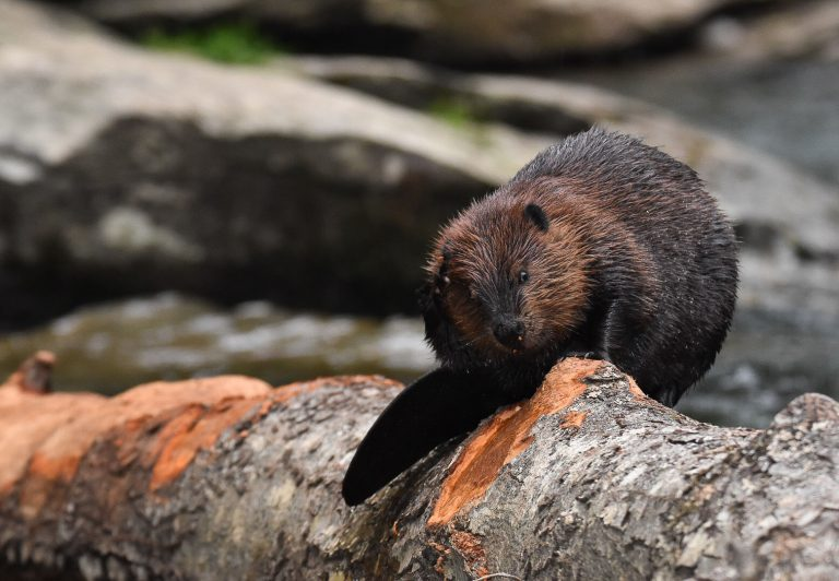 Leave it to Beavers: Chesapeake Bay Restoration by Nature