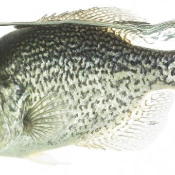 Tactics for Spring Crappie
