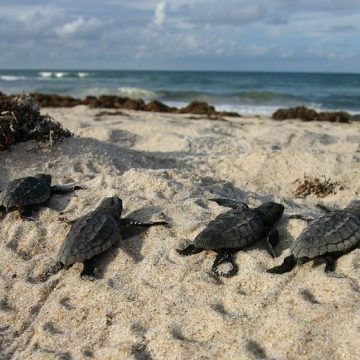 Florida Calls for Protection of Nesting Turtles