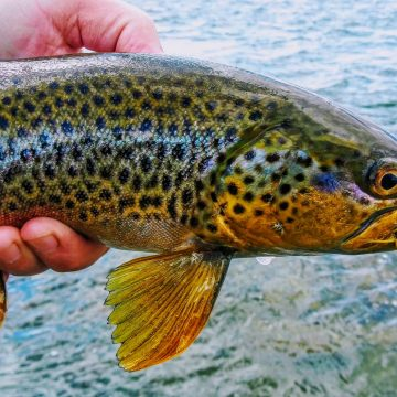 Rooster Tails for Big Trout