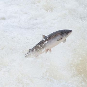Last Best Chance to Save Atlantic Salmon