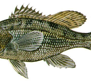 Black Sea Bass Opens North of Cape Hatteras May 15