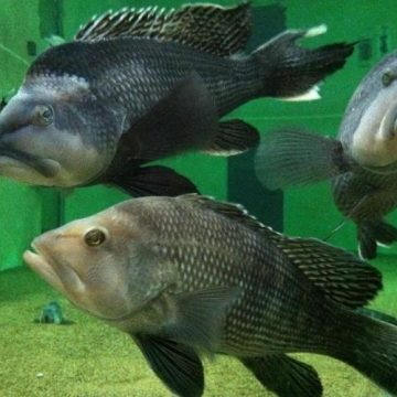 NC Sea Bass Season Opens May 15 North of Cape Hatteras