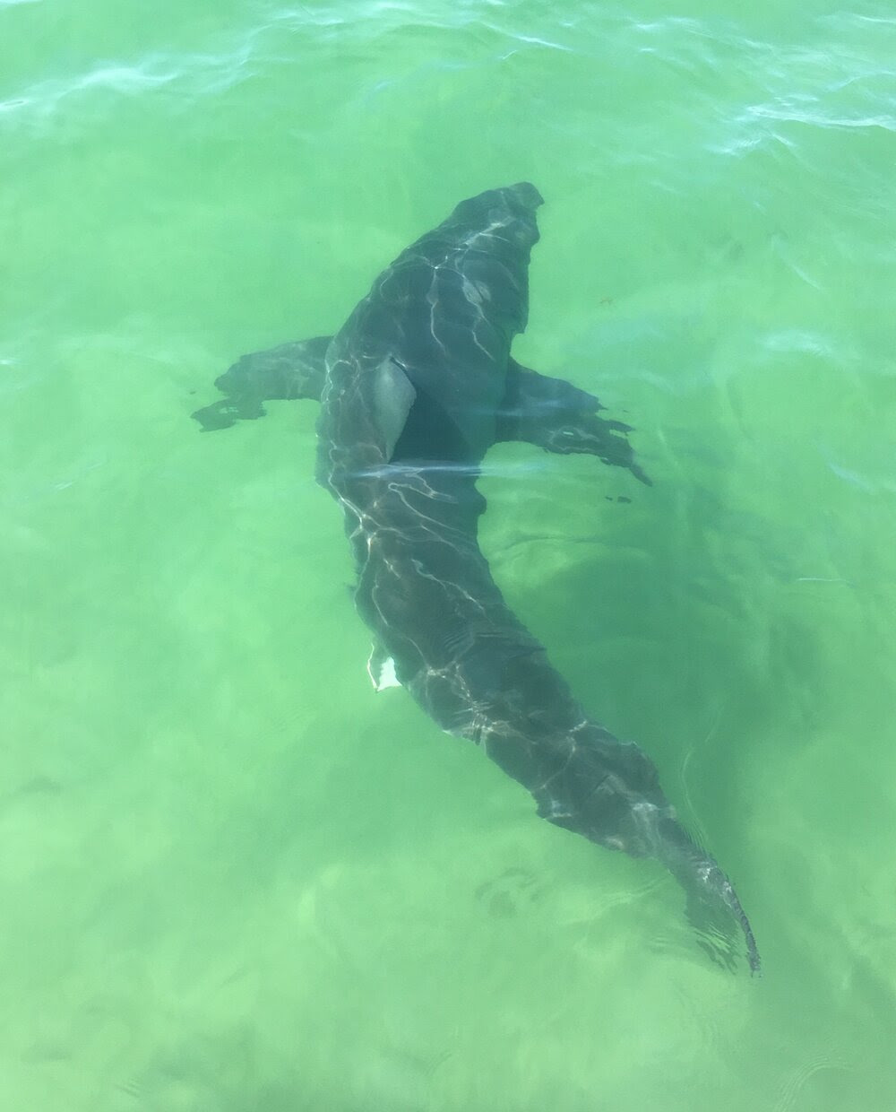 New Data on Cape Cod Great White Sharks