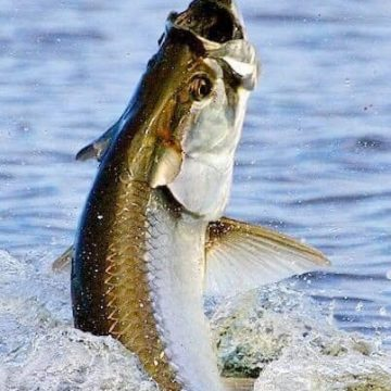 Tarpon Become Catch-and-Release Species in N.C.