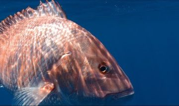 Gulf Red Snapper Rules Under Review this Week