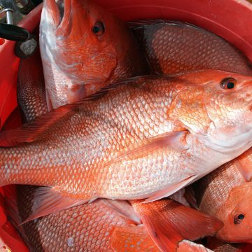 Opinion: Red Snapper Quotas Should Not be Slashed