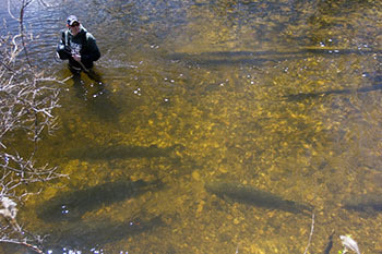Volunteers Needed to Protect Spawning Sturgeon in Michigan