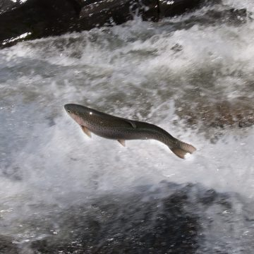 Vermont Steelhead Watching–and Catching