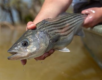 Limited Striper Season Now Underway on Roanoke River, N.C.