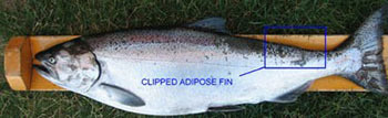 Turn in Tagged Fish for Rewards in Michigan Waters