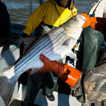 Science to Support the Chesapeake Bay's Rockfish