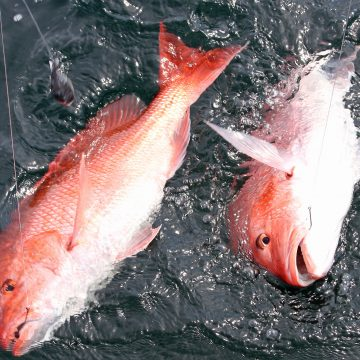 Louisiana Anglers Land 8 Percent of Snapper Quota on First Weekend of Season