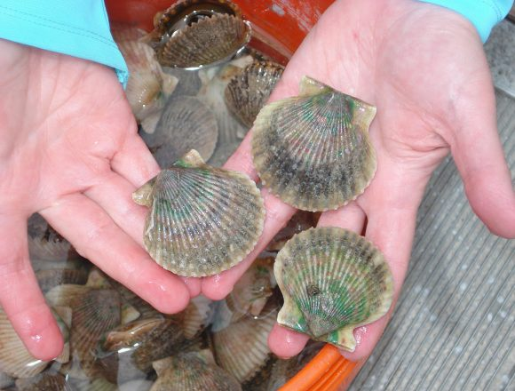 St. Andrews Bay Scallop Rodeo Aug 14