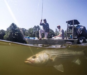 Future of Stripers Is In Anglers' Hands