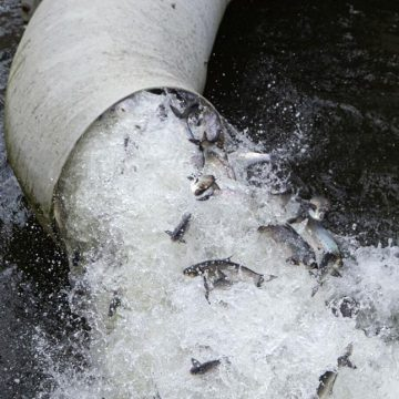 Biologists Truck Shad to Spawning Grounds