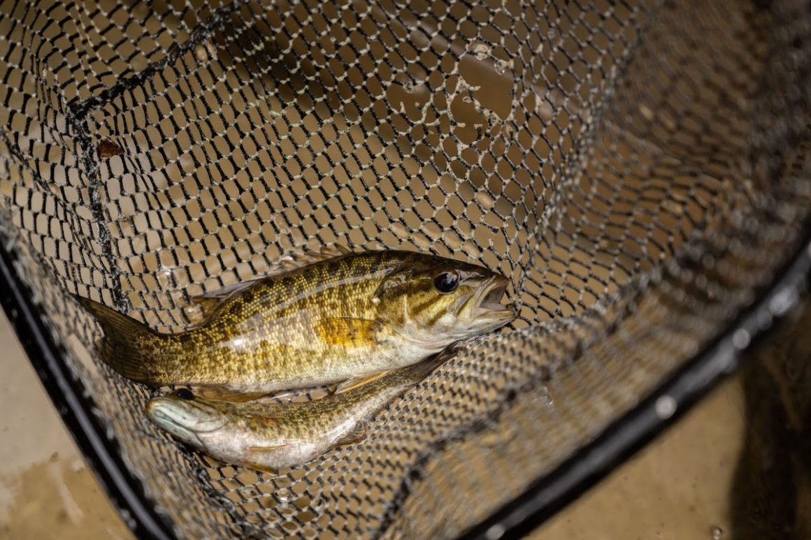 Smallmouth Abundant in West Virginia Rivers Thanks to Restorations