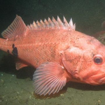 Protecting Largest, Most Prolific Fish May Boost Productivity